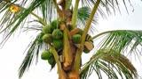 向往的生活第四季:一個椰子的風波~
